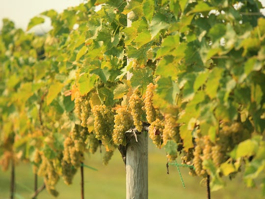 When these grapes grow up, they'd like to be crisp, refreshing white wine.