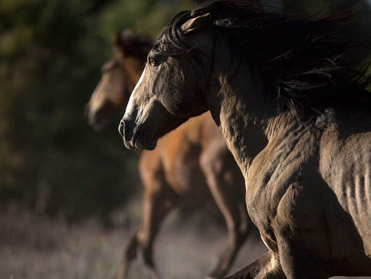 A wild horse runs on U.S. Forest Service land near
