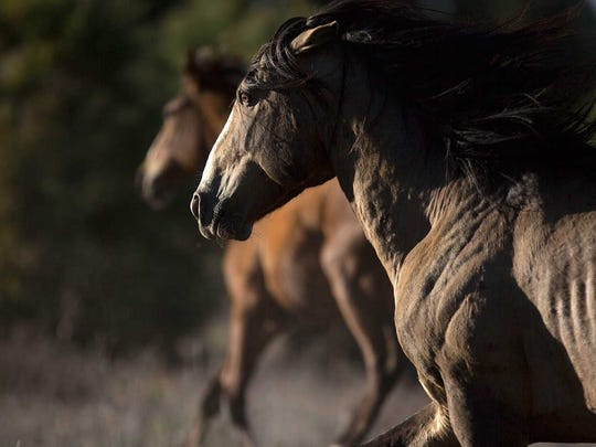 A wild horse runs on U.S. Forest Service land near