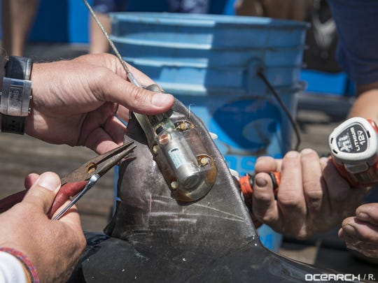 OCEARCH places a satellite tag on a juvenile great