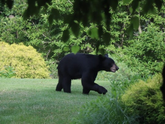 A bear spotted on Carey Drive in Bedford, July 9, 2018.