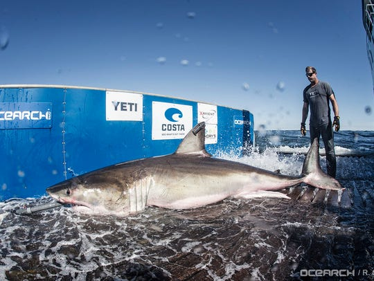 Hilton was tagged by OCEARCH researchers in March 2017