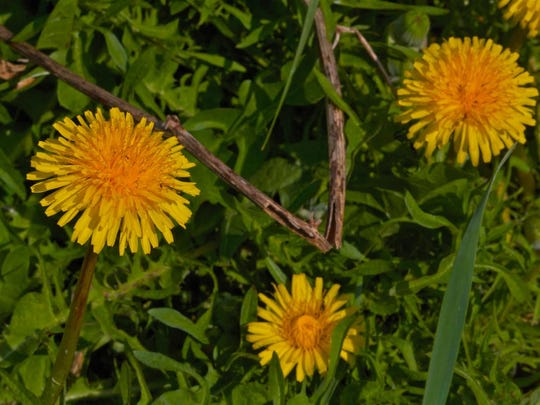 Dandelions can be an asset if you're trying to bring