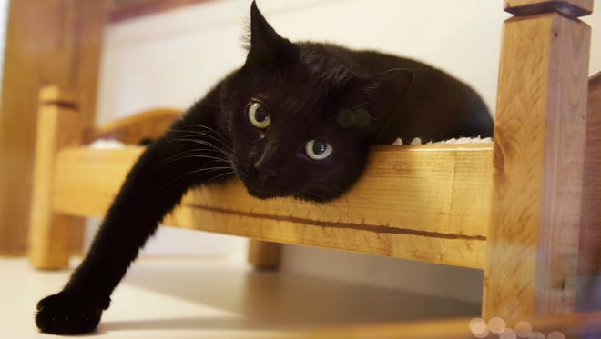 """FILE - In this Tuesday, Aug. 4, 2015, file photograph, a black cat lounges on a small bed in Morristown, N.J. New Jersey could become the first state to prohibit veterinarians from declawing cats. The bill's sponsor said declawing is """"a barbaric practice"""" that more often than not is done for convenience. The American Veterinary Medical Association opposes the law and said declawing is a last option if behavior modification fails."""