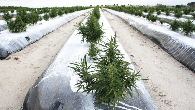 Rows of hemp plants are shown at a farm in Alturas. Hook-R Farms is a grower for Green Earth Cannaceuticals, which is cultivating industrial hemp through a two-year pilot project with Florida A&M University.