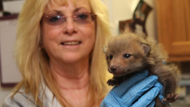 Wildlife rehabilitaor Maggie Ciarcia of Carmel holds a three week old red fox kit April 3, 2014. The orphaned fox was found in Kent.