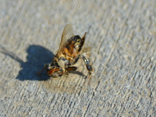 In this file photo, a dead bee lies on an Indio sidewalk.