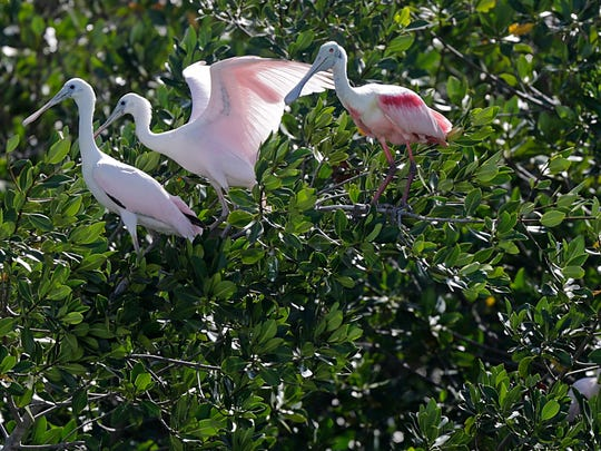 File: Roseate spoonbills perch on a mangrove branch.