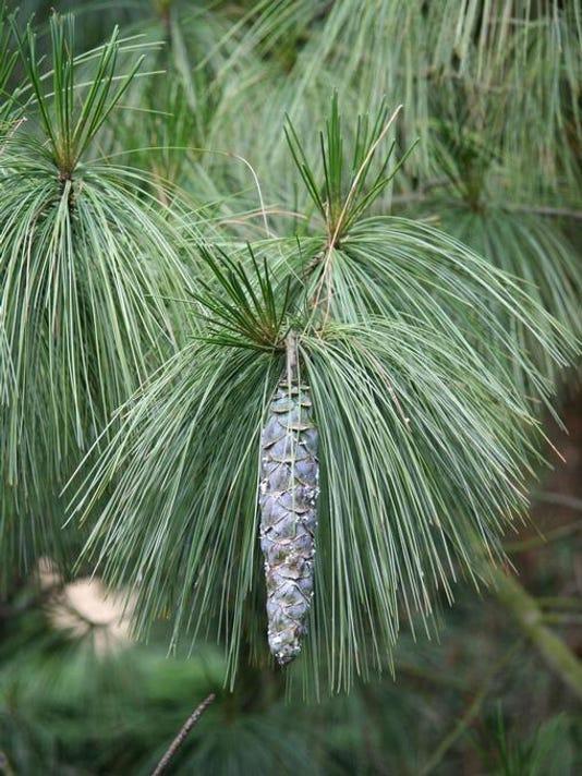 white eastern pine 1