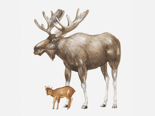Illustration of elk and pudu, largest and smallest