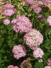 The cultivar Invincibelle Spirit is a hydrangea that