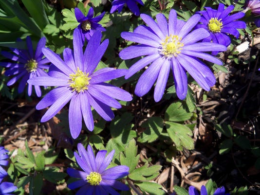 Windflower Anemones are shown as they bloom in March.
