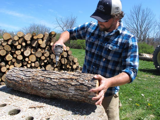 Mushroom grower Andy Bojanowski drills holes in a log that will be filled with shiitake spawn at Eddy Farm in Middlebury.
