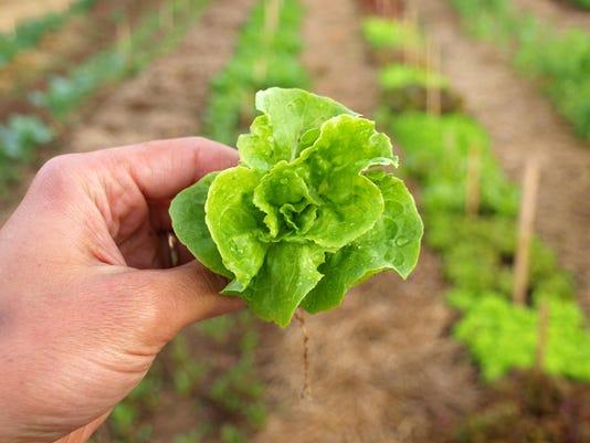 Lettuce Tom Thumb