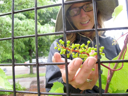 Edible landscaper Meghan Giroux examines a young bunch of grapes on a trellis last week at Healthy Living in South Burlington.