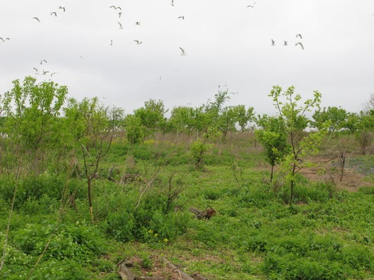 Revegetation on Young Island, seen in 2014, happened since the state prevented nesting by cormorants and gulls by oiling eggs and killing birds.