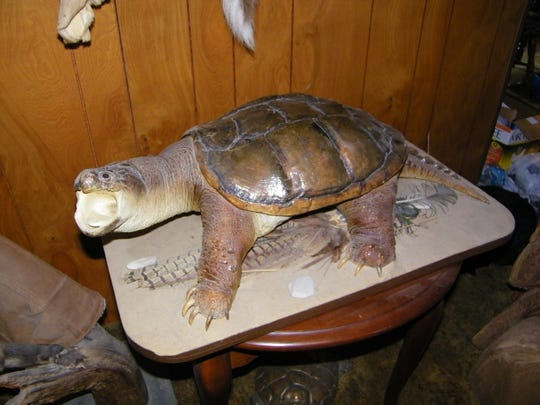This 32-pound turtle is one of the biggest Bob Fisher ever caught. He harvested it on Kelleys Island when hunting was still legal there.