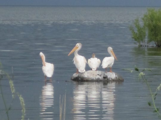The pelicans were lounging in Sand Bay in the town of Nasewaupee when George Sincock took this photo.