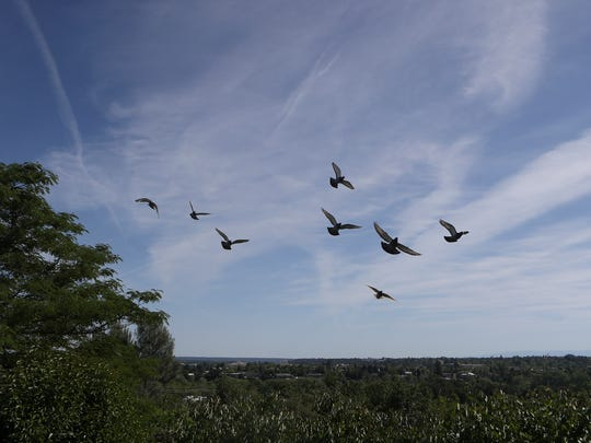 Some of Ron Schmidt's flock of racing pigeons take their afternoon flight Tuesday at his home in Redding.
