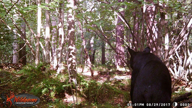 A bear coming to check out the bait in central Wisconsi.