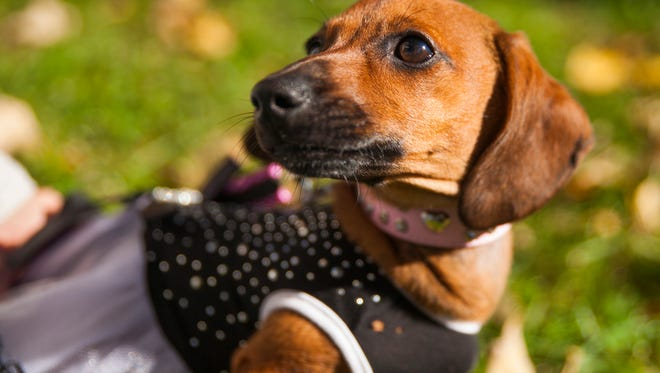 Skeeter, News Leader reporter Traci Moyer's red dachshund, sits in the grass at Gypsy Hill Park during the Pets in the Park event on Saturday, Oct. 17, 2015.