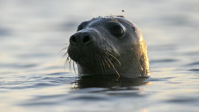 A seal pokes his head out of the water in Casco Bay, Thursday, July 30, 2020, off Portland, Maine. Seals are thriving off the northeast coast thanks to decades of protections. Many scientists believe the increased seal population is leading to more human encounters with white sharks, who prey on seals.