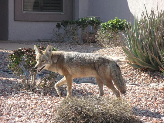 An urban coyote in the Sun City Grand subdivision in