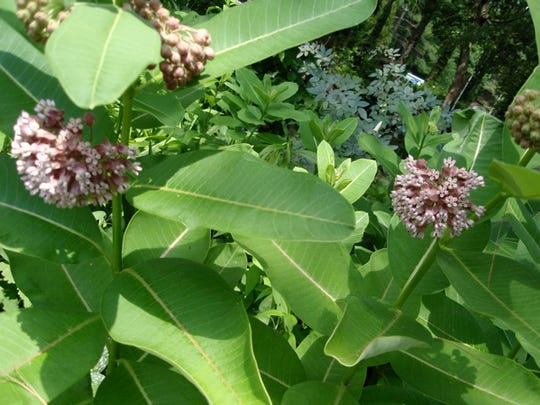 Milkweed is best in an area where its aggressive reseeding