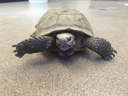 Henry, a female desert tortoise of undetermined age. No. 90928