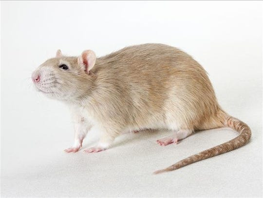 Stuart, male rat. No. 100227.