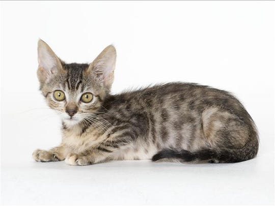 Storm, 3-month-old female domestic medium hair kitten. No. 100013.