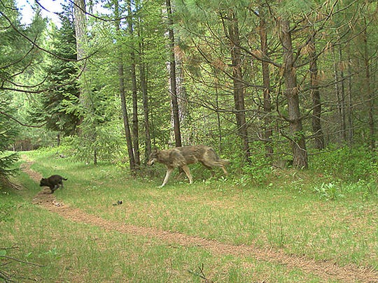 Two members (one subadult and one pup) of the Catherine Pack on private property in eastern Union County.