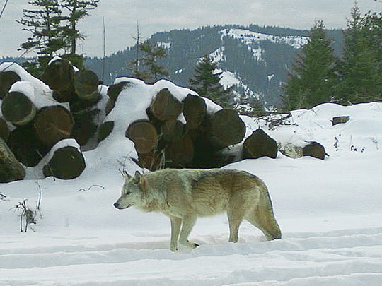 The breeding female of the Walla Walla Pack captured on a remote camera on private property in northern Umatilla County.