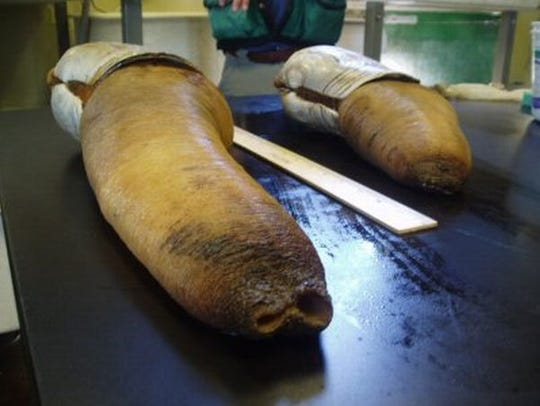 The geoduck is the world's largest burrowing clam and