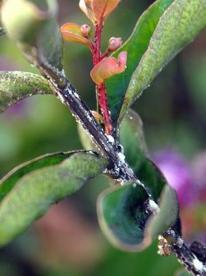 Crape myrtle bark scale produces white growths along twigs.