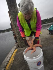 Volunteer Mary Ann Tiffany examines a sea star pulled
