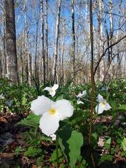 Trilliums fill the forest floor in Door County's Peninsula