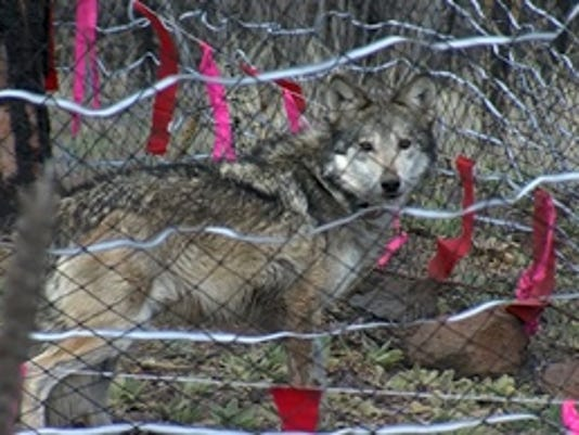 Pregnant Mexican Wolf Freed With Mate In Arizona