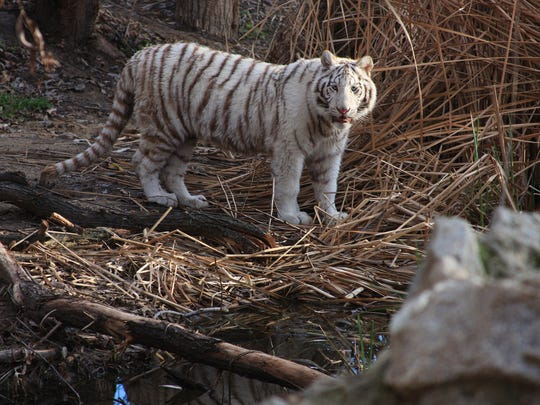 Top: Dianna is a 1 year old white tiger living in Cat Haven. Above: Samba is dark jaguar in Cat Haven.