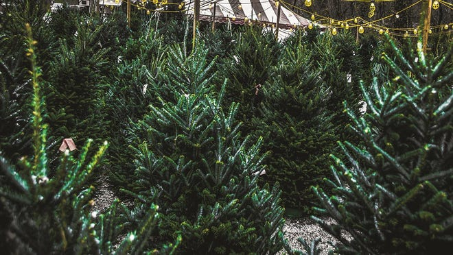 When purchasing a cut tree, there are important signs to look for. Dull needles that are more gray than bright green or needles that are stiff and brittle indicate the tree's decline.