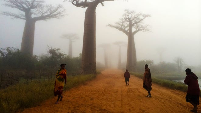 Baobab trees line what is known as Baobab Alley in Morondava, Madagascar.