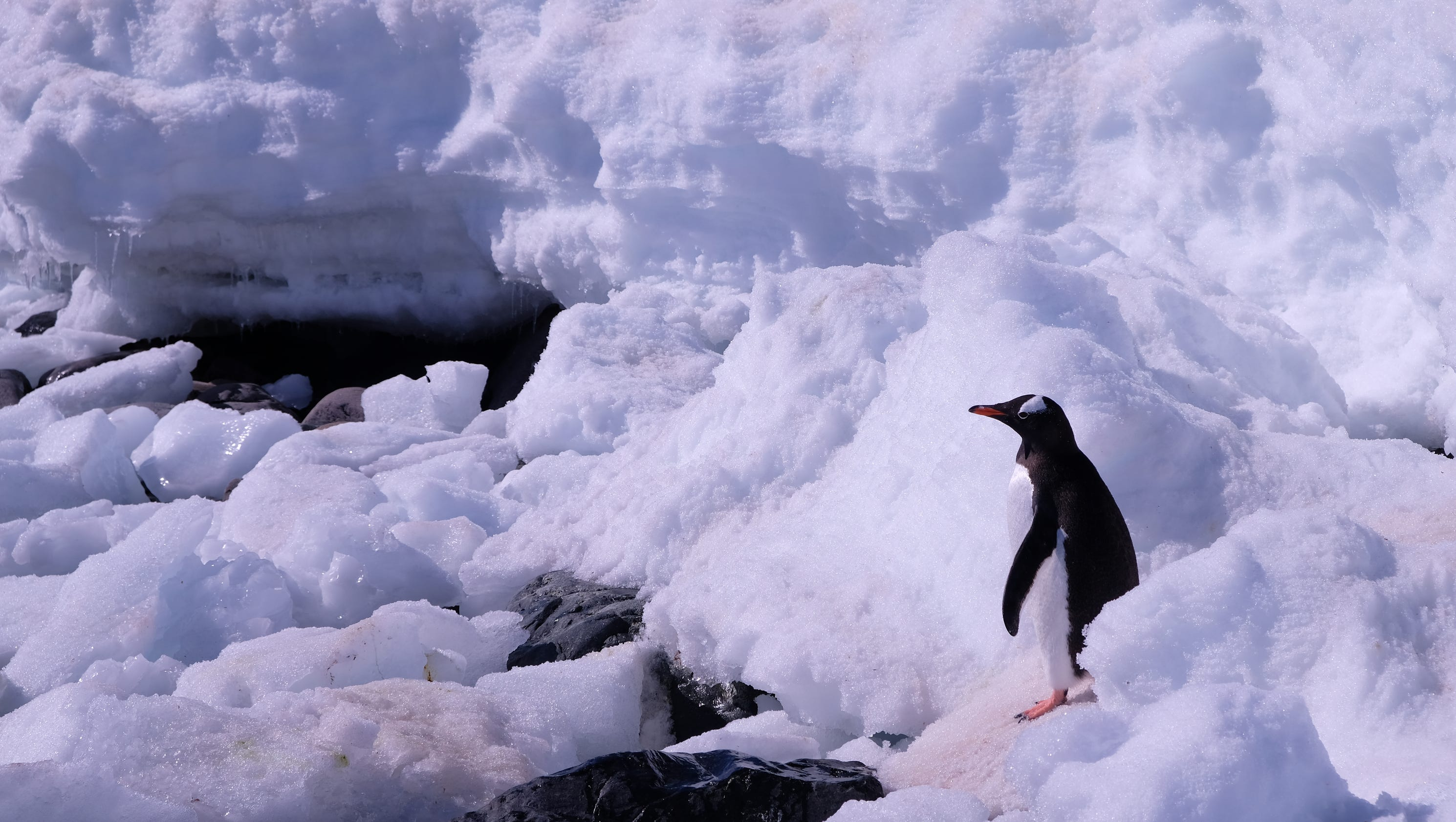 searching for penguins in antarctica