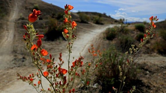 Globe mallows bloom along the Bearclaw Poppy Trail.