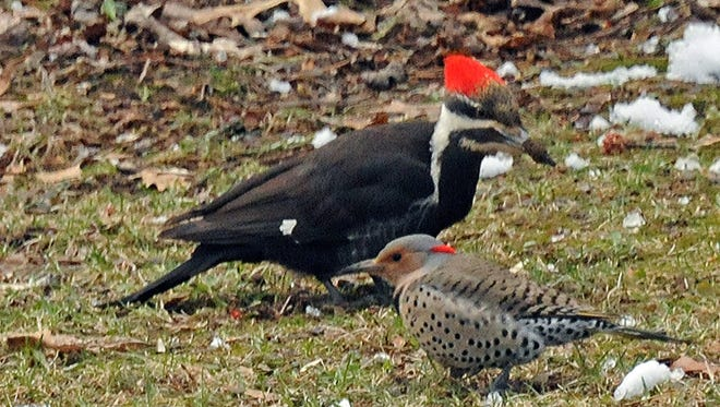 A female pileated woodpecker hunts for worms alongside a Northern flicker in April 2014. Female pileateds have a red crown that stops atop their forehead.