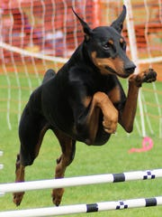 More than 180 dog breeds compete for titles for conformation, obedience and agility at the Fiesta Cluster, a 5-day dog show Feb. 26-March 2 at WestWorld.