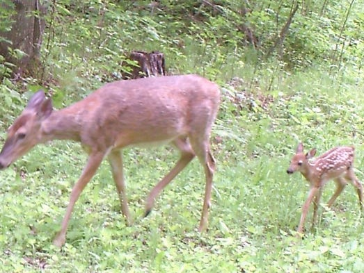 A fawn follows its mother in Oconto County.