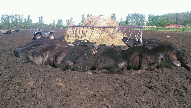 Cattle near a metal bale feeder were killed when lightning struck it Wednesday night.