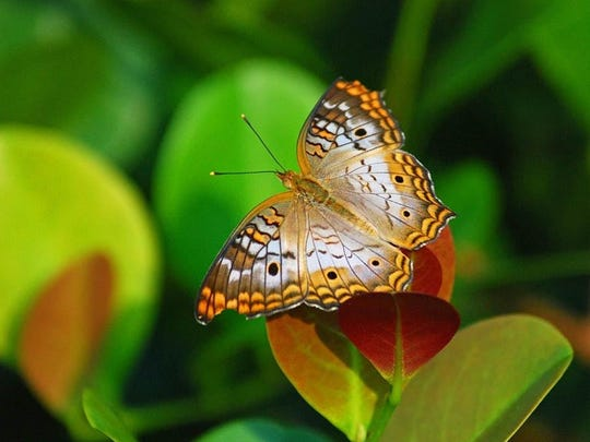 Corkscrew Swamp Sanctuary holds a July Butterfly Count.