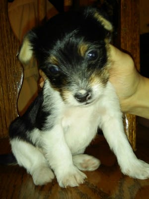 This is one of Elizabeth's puppies born to her Yorkie, Crystal, soon after Elizabeth's baby girl, Abigail was born.