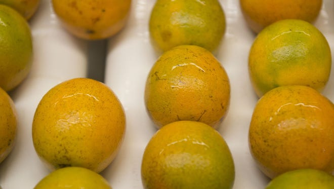 Valencia oranges grown in St. Lucie, Polk and Highlands counties being inspected and packed at DLF International's packing house in Fort Pierce.